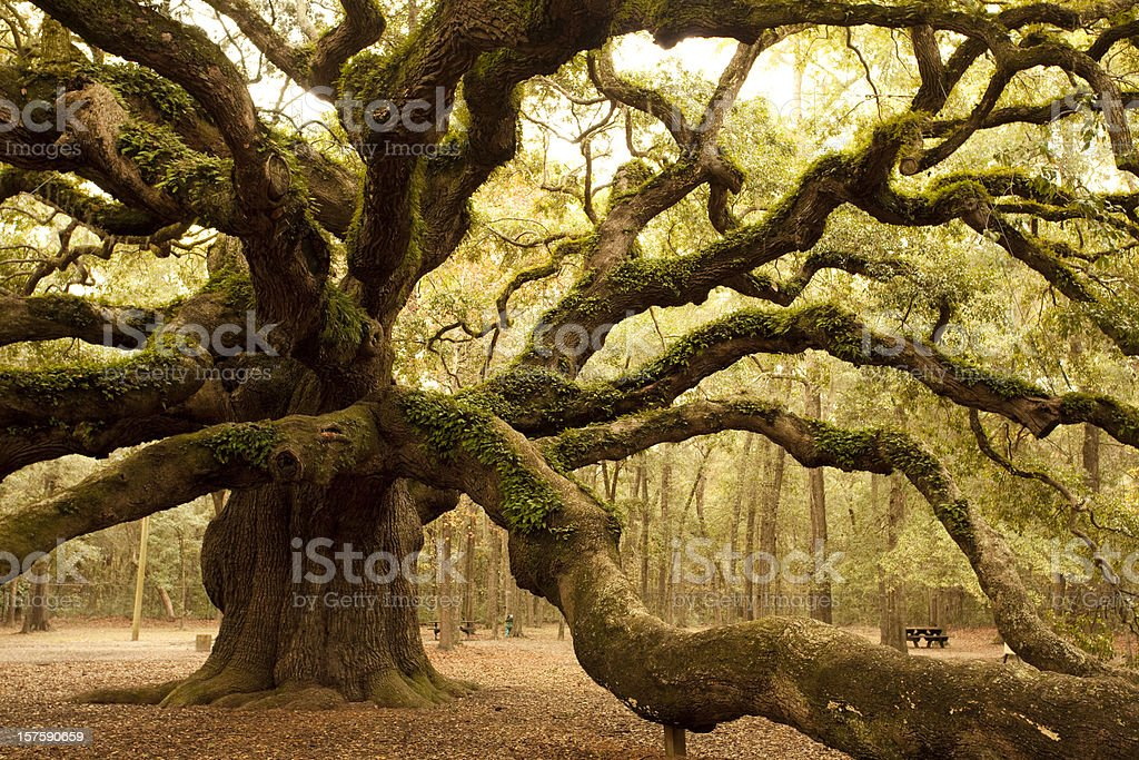 Ancient Angel Oak near Charleston stock photo