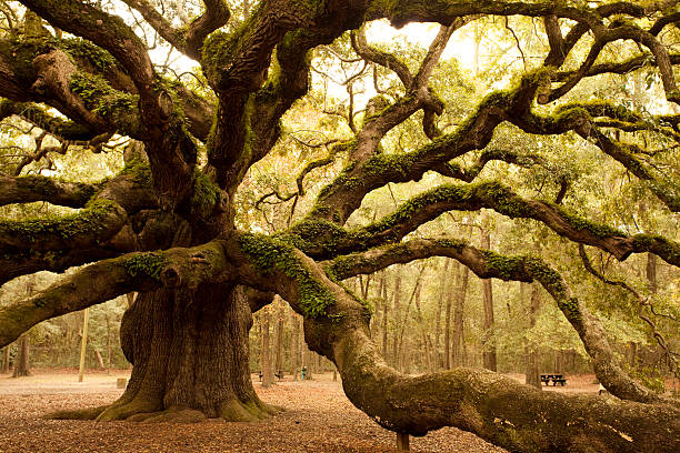 antica angel oak vicino a charleston - solidità foto e immagini stock