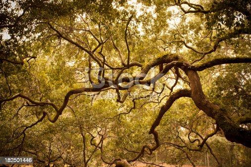 istock Ancient Angel Oak near Charleston 182501446