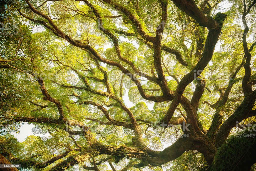 Ancient banyan canopy stock photo