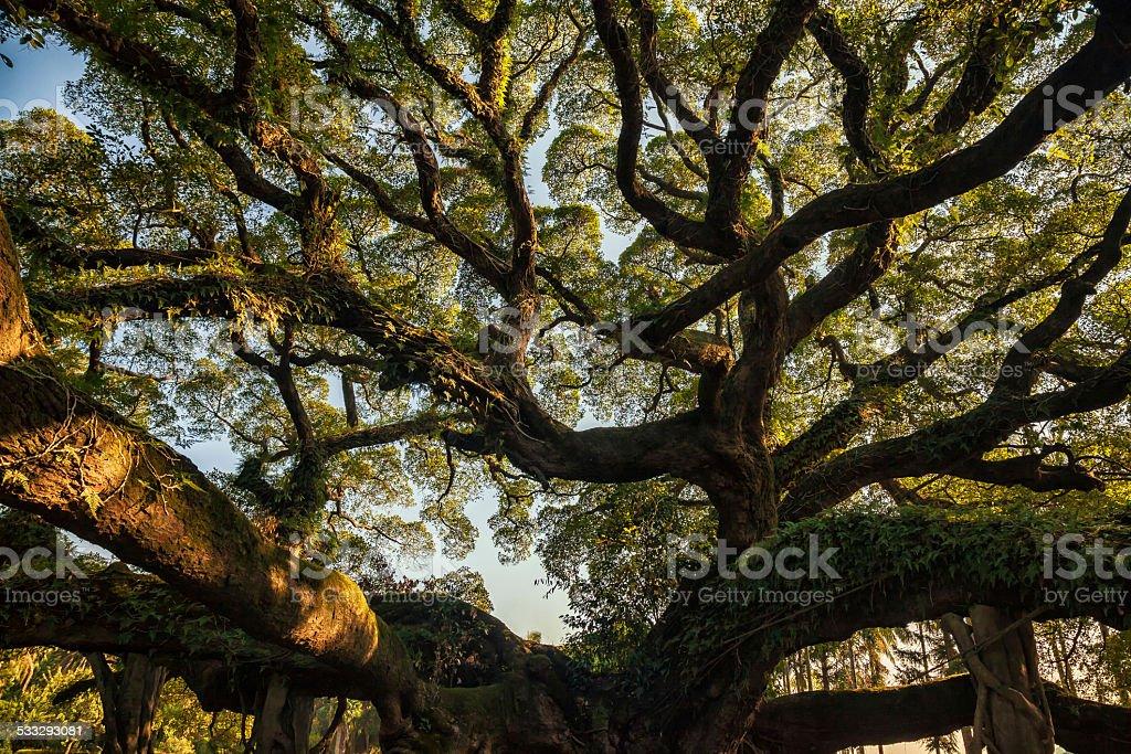 Ancient banyan canopy stock photo