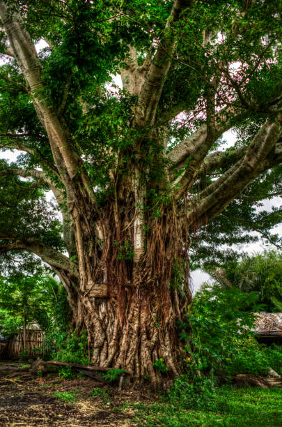 Ancient Banyan Tree stock photo