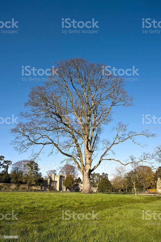 Ancient Bare Tree royalty-free stock photo