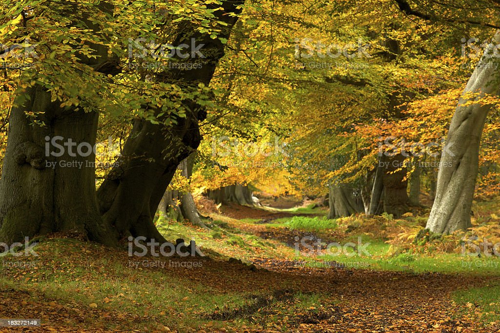 ancient beech forest royalty-free stock photo