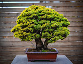 Ancient big bonsai tree on wooden background