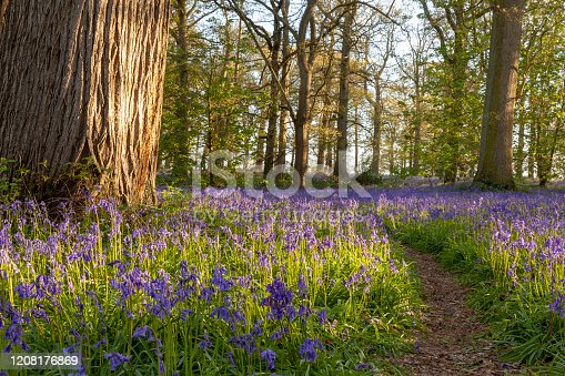 istock Ancient bluebell woodland in spring time 1208176869