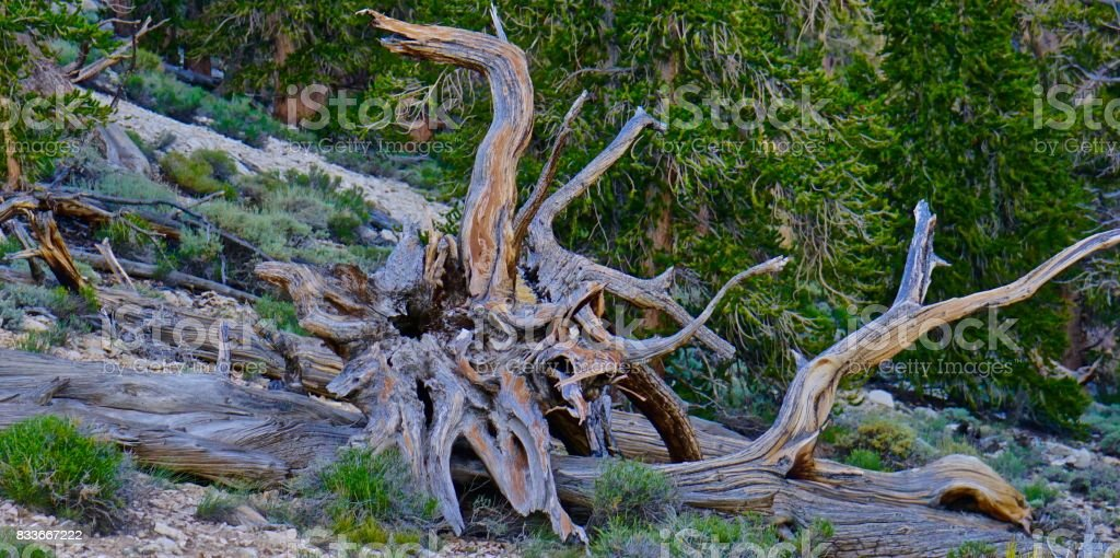 Ancient Bristlecone Pine Epic Relic stock photo