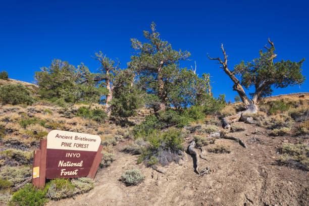 Ancient Bristlecone Pine Forest in California stock photo