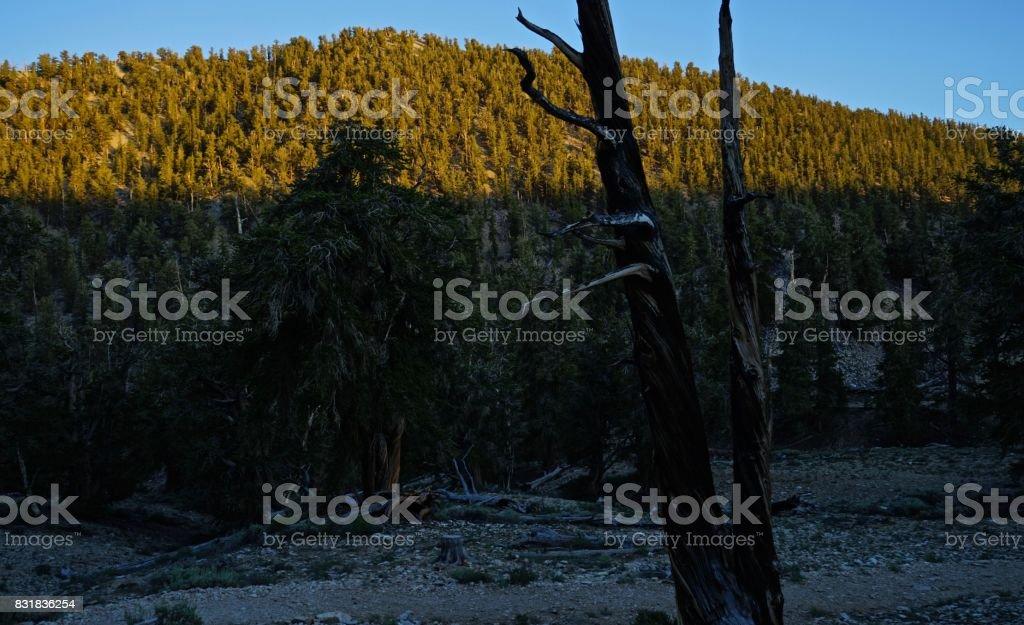 Ancient Bristlecone Pine Forest Scene stock photo