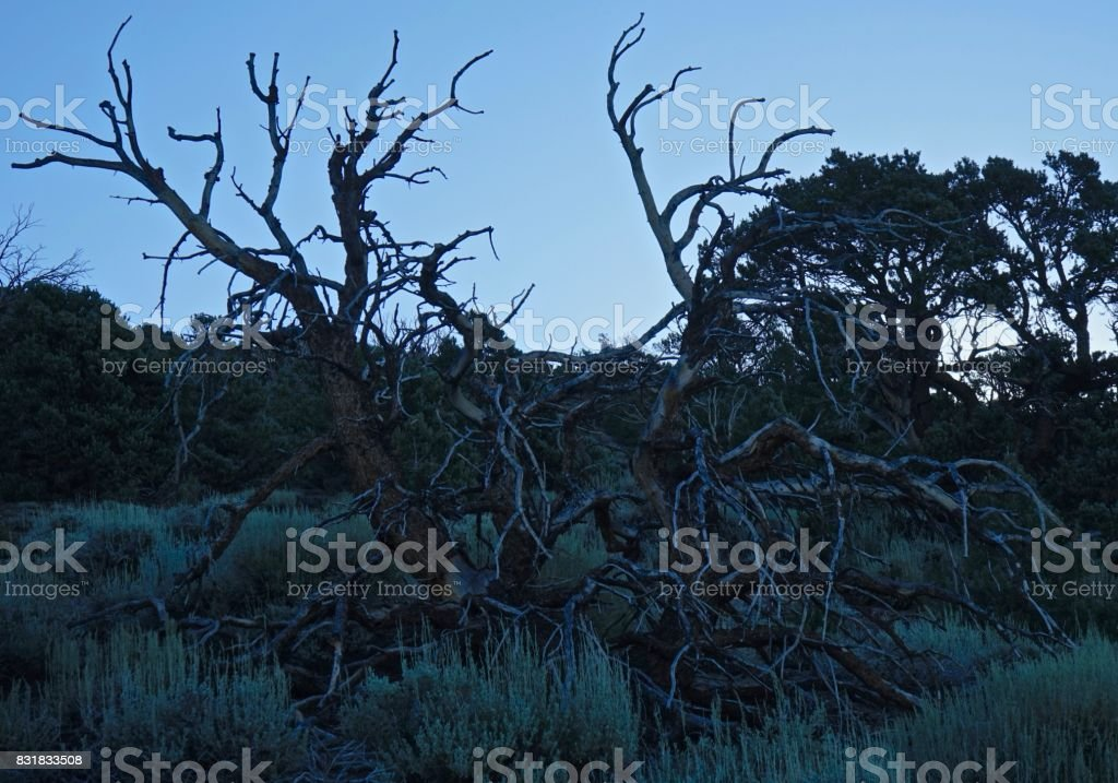 Ancient Bristlecone Pine Octopus stock photo