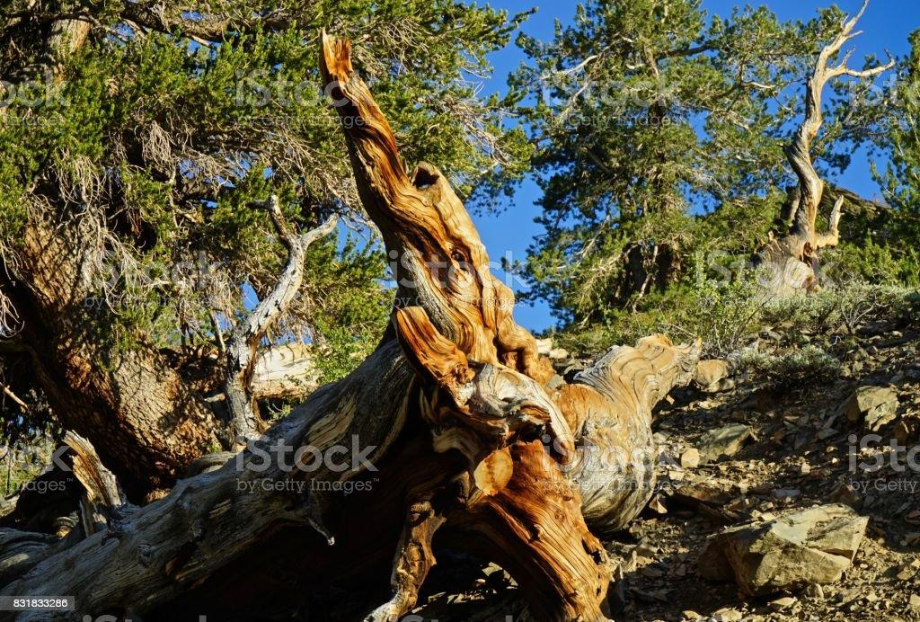 Ancient Bristlecone Pine stock photo