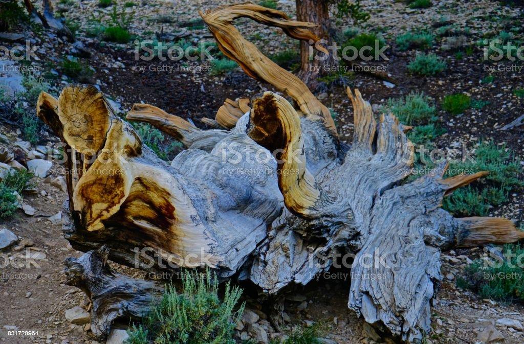 Ancient Bristlecone Pine Relic stock photo