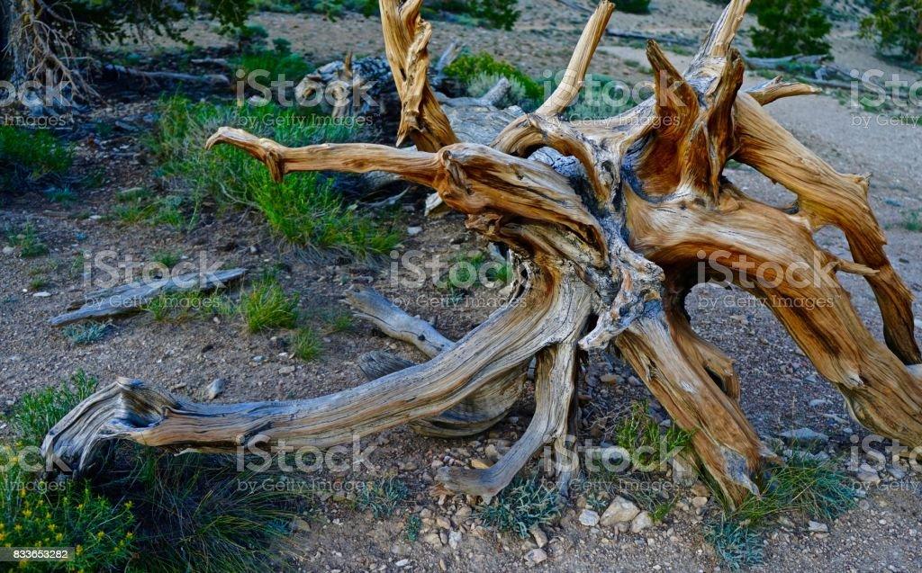 Ancient Bristlecone Pine Scorpion stock photo