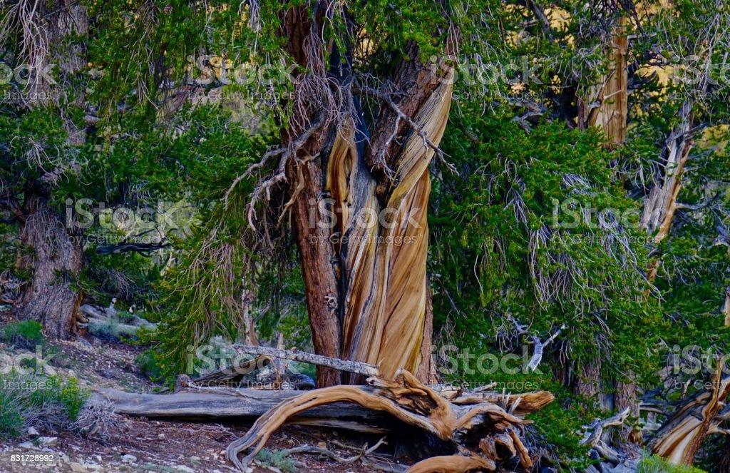 Ancient Bristlecone Pine Specimen stock photo