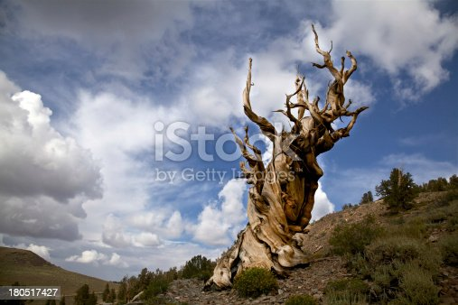 istock Ancient Bristlecone Pine Tree and Storm Clouds 180517427