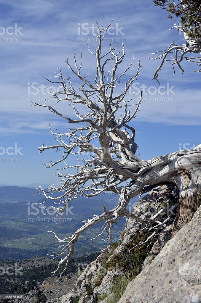 Ancient Bristlecone Pine Tree and Storm Clouds royalty-free stock photo