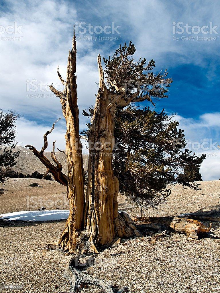 Ancient bristlecone pine tree royalty-free stock photo