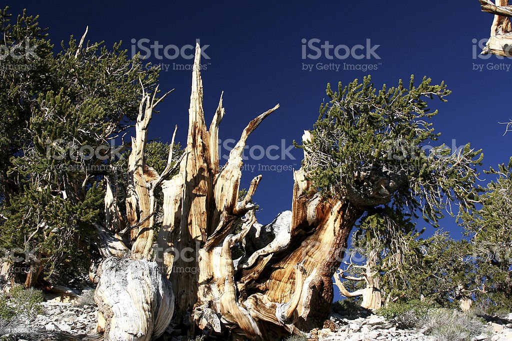 Ancient Bristlecone Pine-02 stock photo