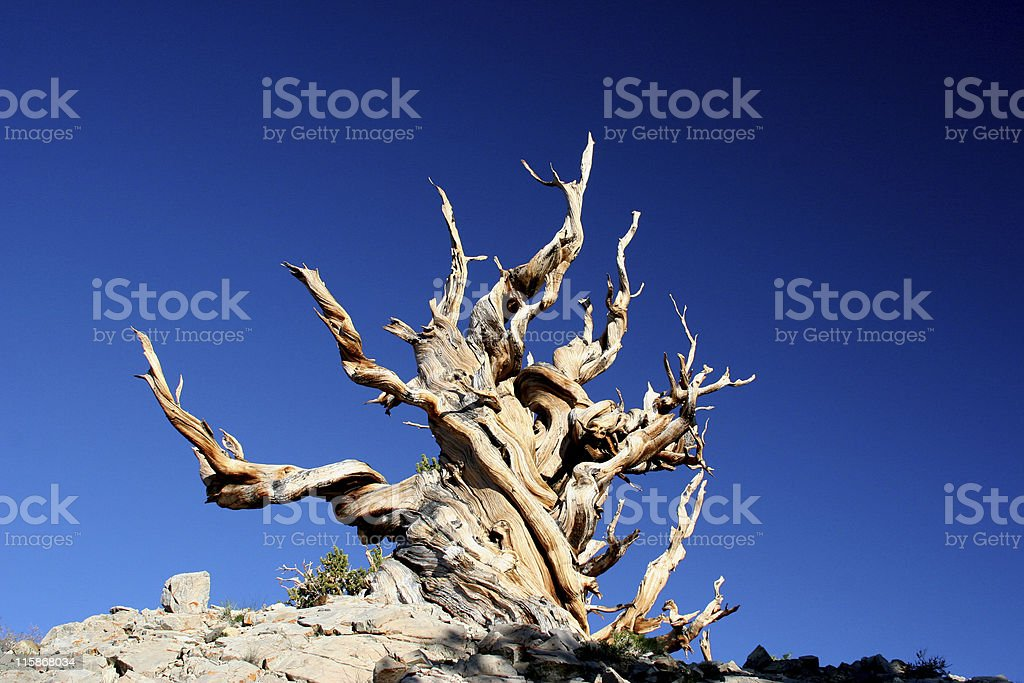 Ancient Bristlecone Pine-05 stock photo