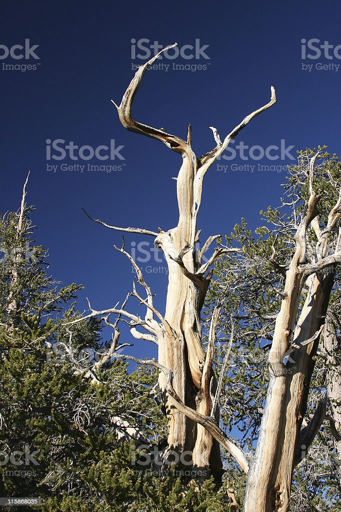 Ancient Bristlecone Pine-06 royalty-free stock photo