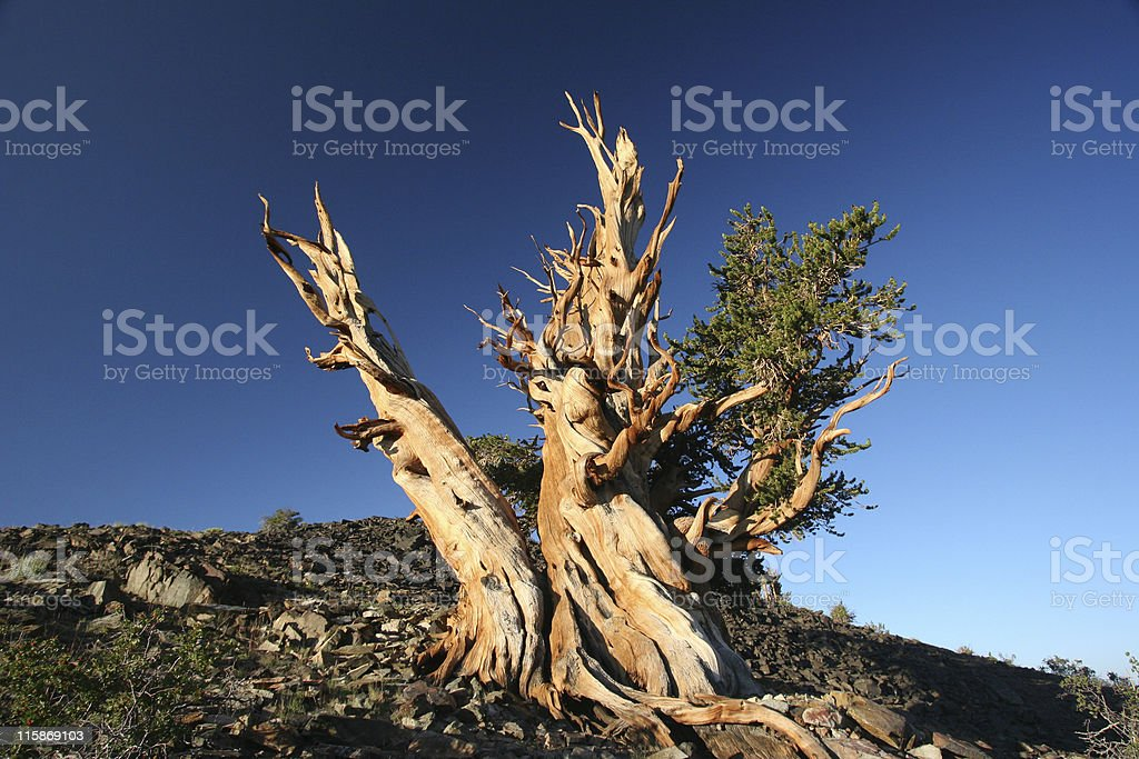Ancient Bristlecone Pine-07 royalty-free stock photo