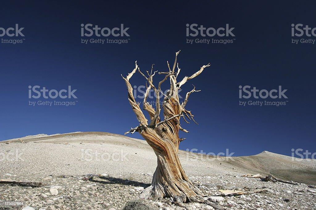 Ancient Bristlecone Pine-10 stock photo