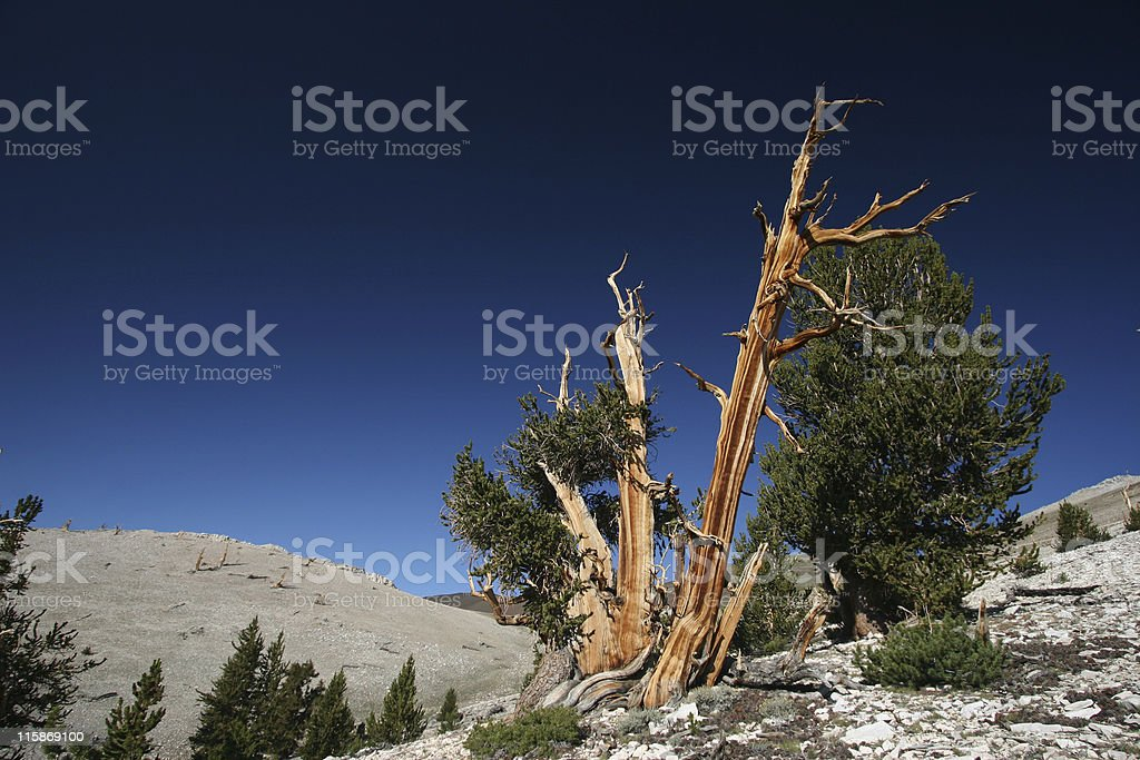 Ancient Bristlecone Pine-11 royalty-free stock photo