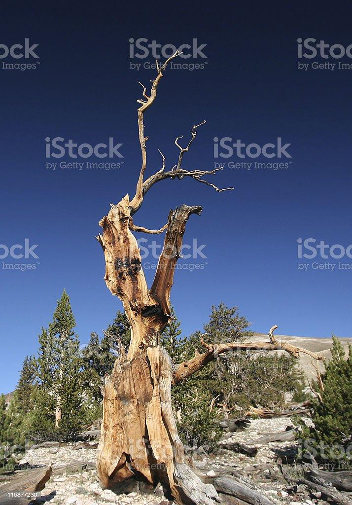 Ancient Bristlecone Pine-14 royalty-free stock photo