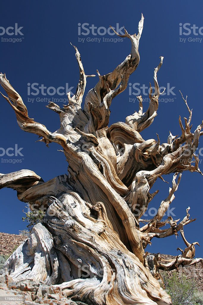 Ancient Bristlecone Pine-17 stock photo