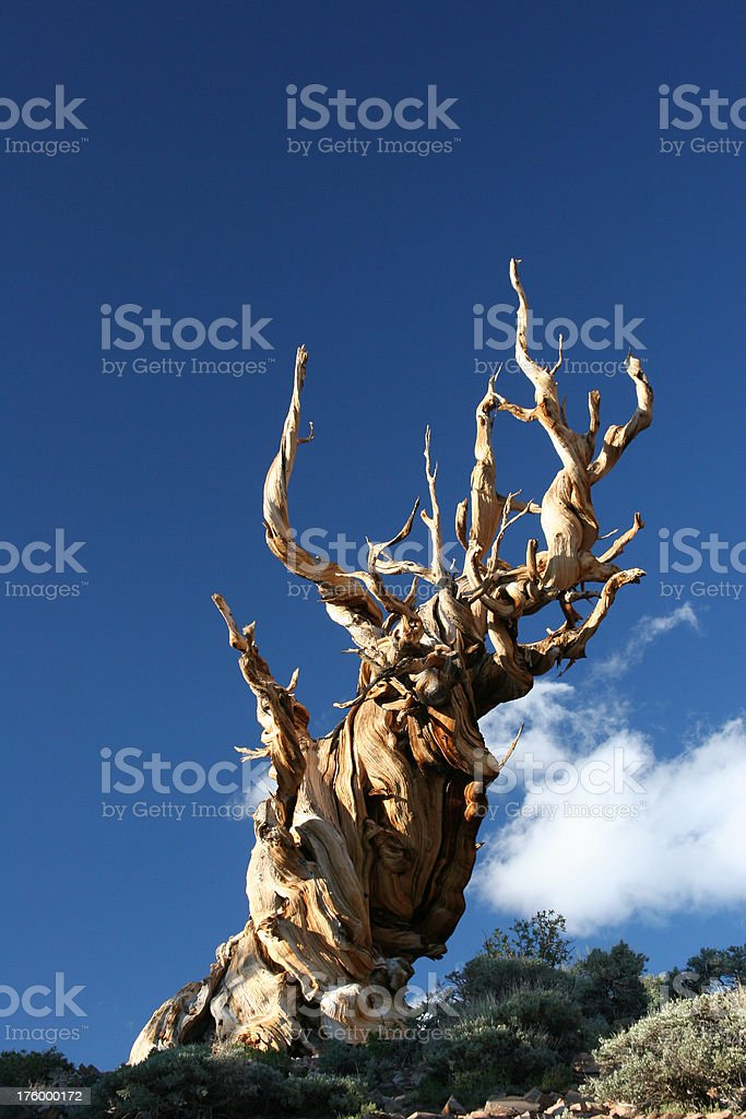 Ancient Bristlecone Pine-23 royalty-free stock photo
