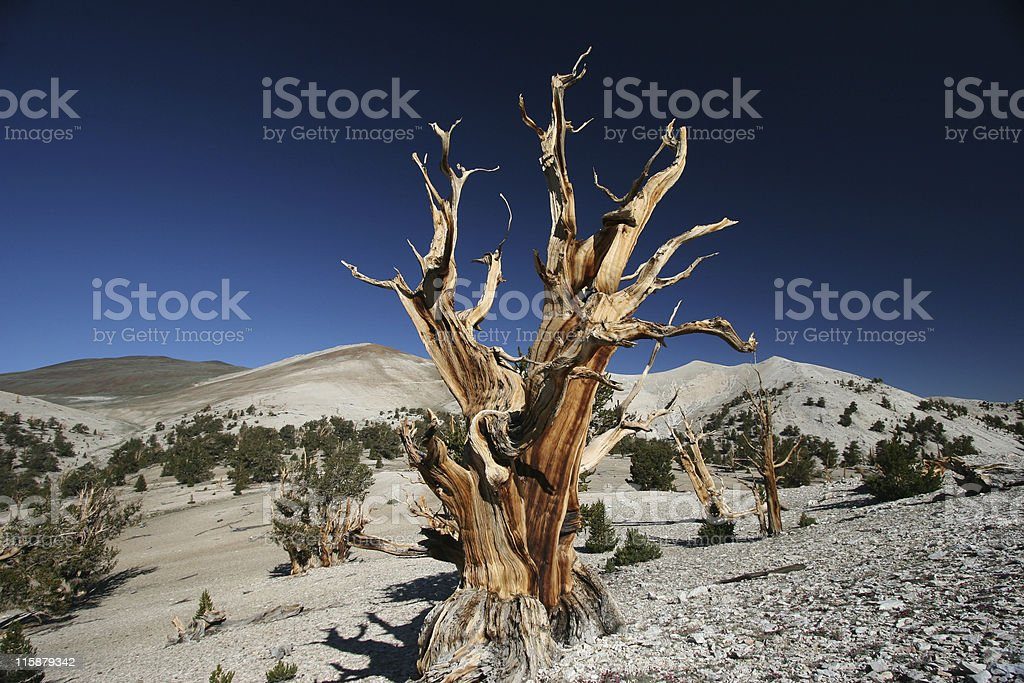 Ancient Bristlecone Pine-25 royalty-free stock photo