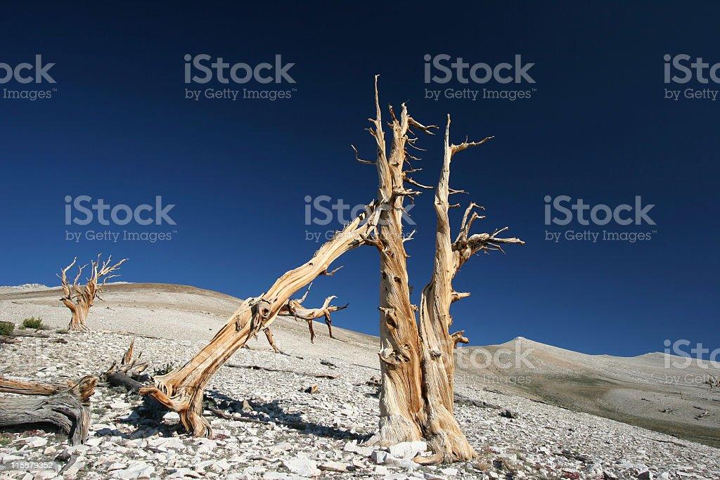 Ancient Bristlecone Pine-28 royalty-free stock photo