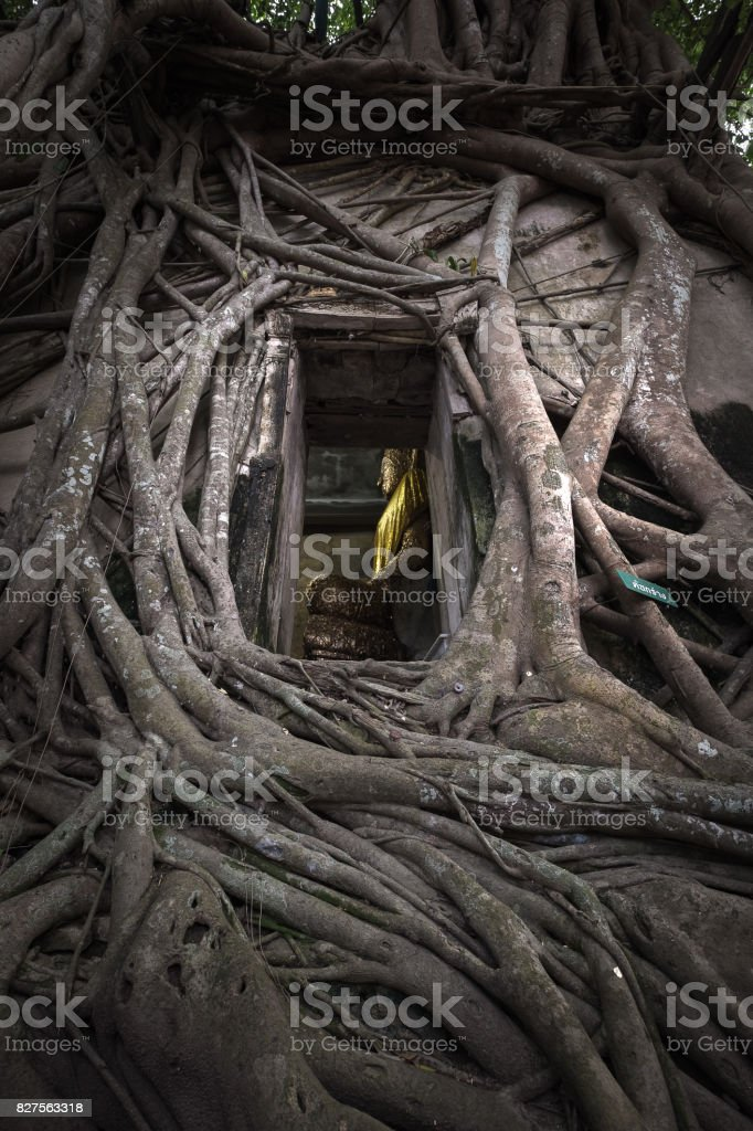 Ancient Buddha statue in old church which covered by banyan tree root at Wat Bang Kung at Amphawa in Samut Songkhram, Thailand. stock photo