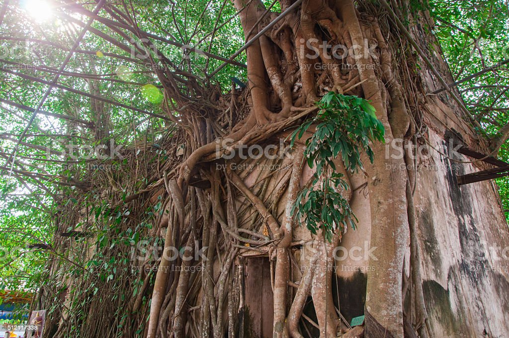 Ancient Buddhist church surrounded by tree roots stock photo