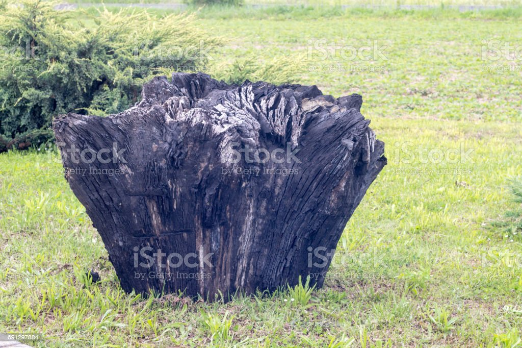 ancient carbonized fossil bog oak stump, 3000 years old, on grass in back yard stock photo