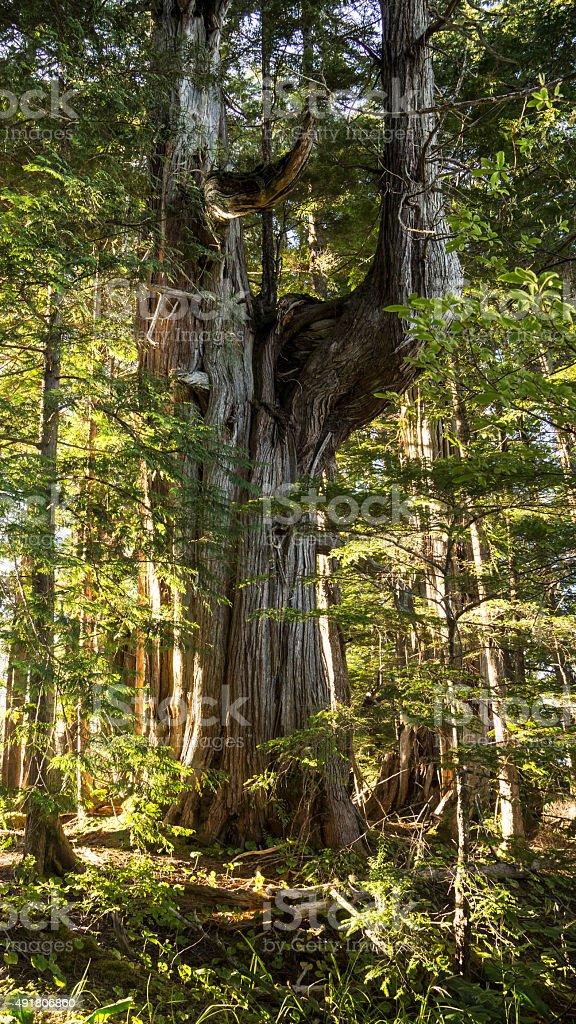Ancient Cedar stock photo