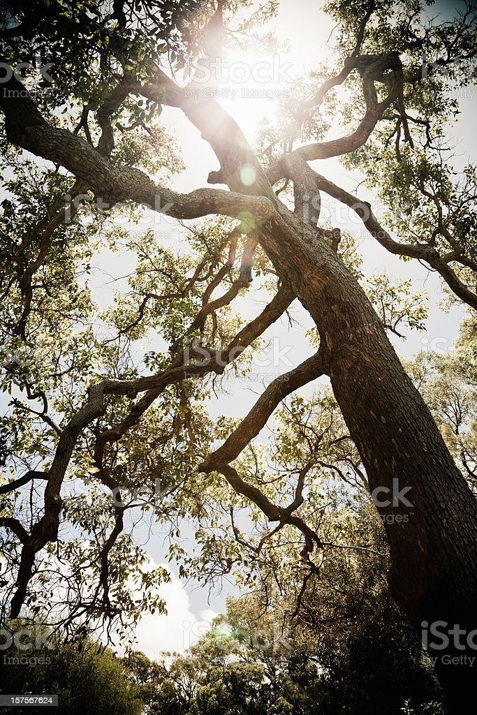 Ancient Eucalyptus Tree Karri Forest royalty-free stock photo