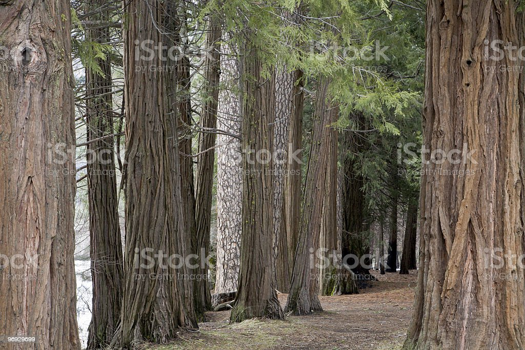 Ancient Forest royalty-free stock photo
