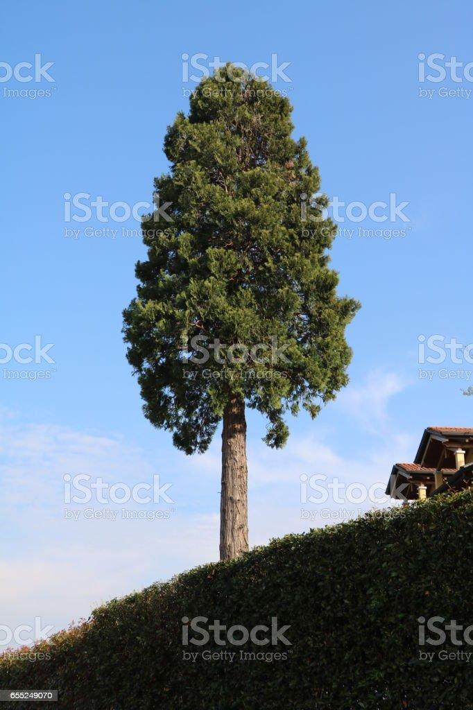 Ancient giant Italian cypress in Italy stock photo