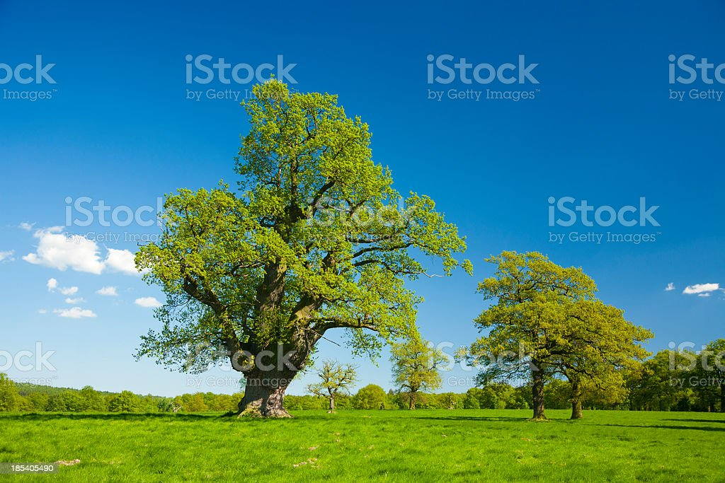 Ancient Gnarled Oak Trees in Spring Landscape under Blue Sky royalty-free stock photo