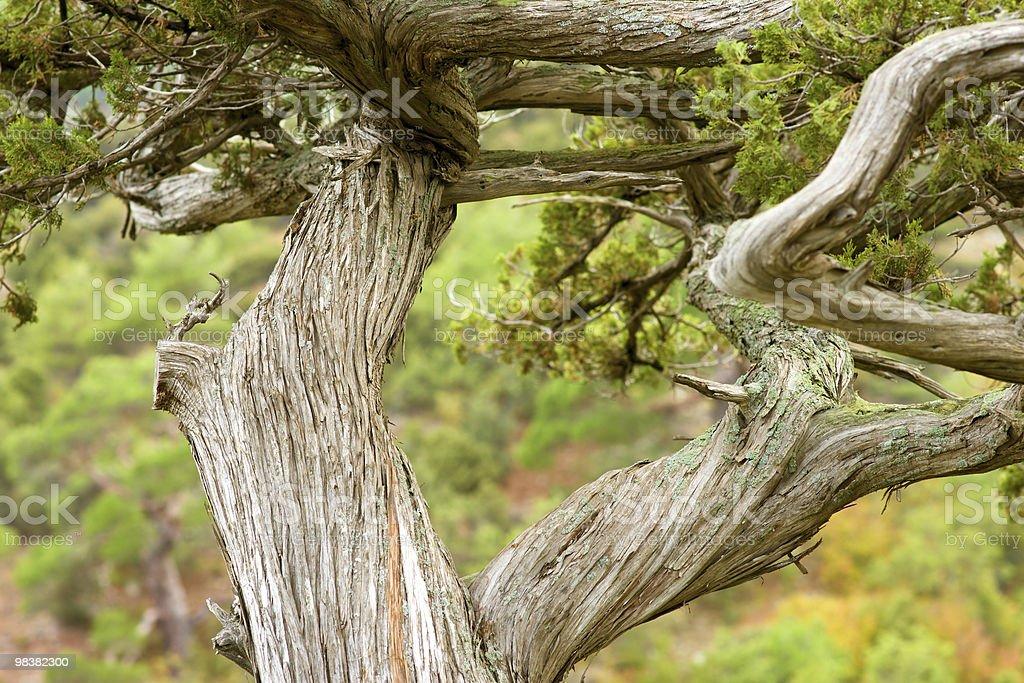 ancient juniper royalty-free stock photo