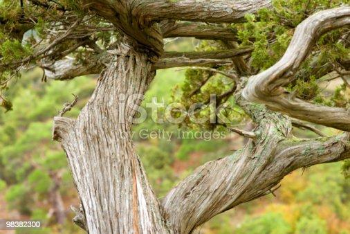 Ancient Juniper Stock Photo & More Pictures of Animal Wildlife