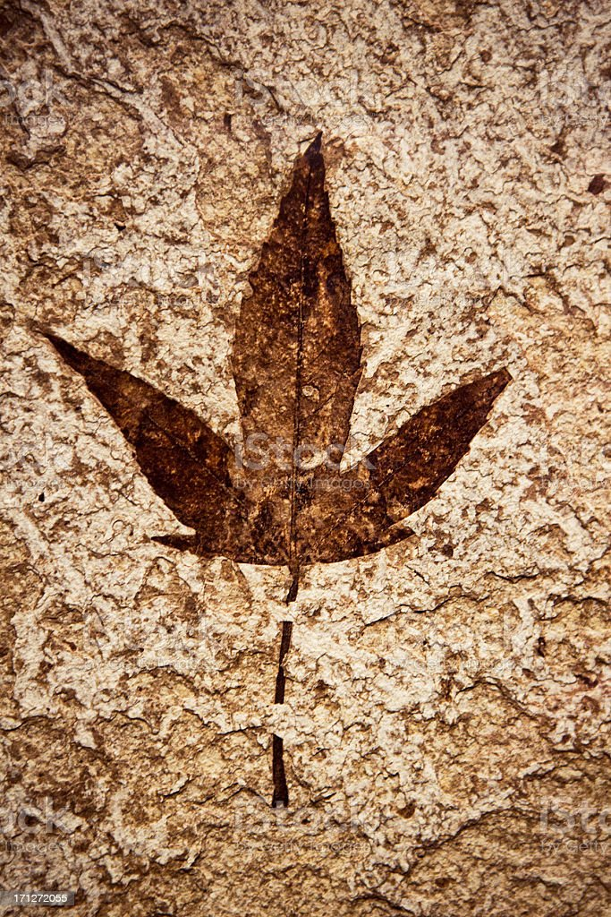 Ancient Leaf Fossil stock photo