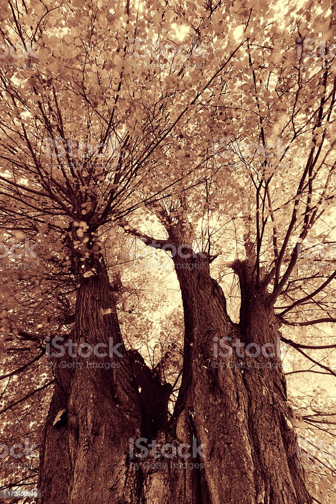 Ancient Lime Tree royalty-free stock photo