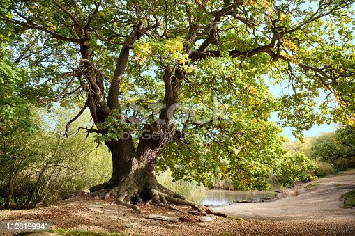 istock Ancient Mighty Oak Tree with Exposed Tangled Roots 1128199941