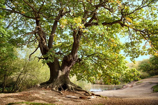 Ancient Mighty Oak Tree with Exposed Tangled Roots