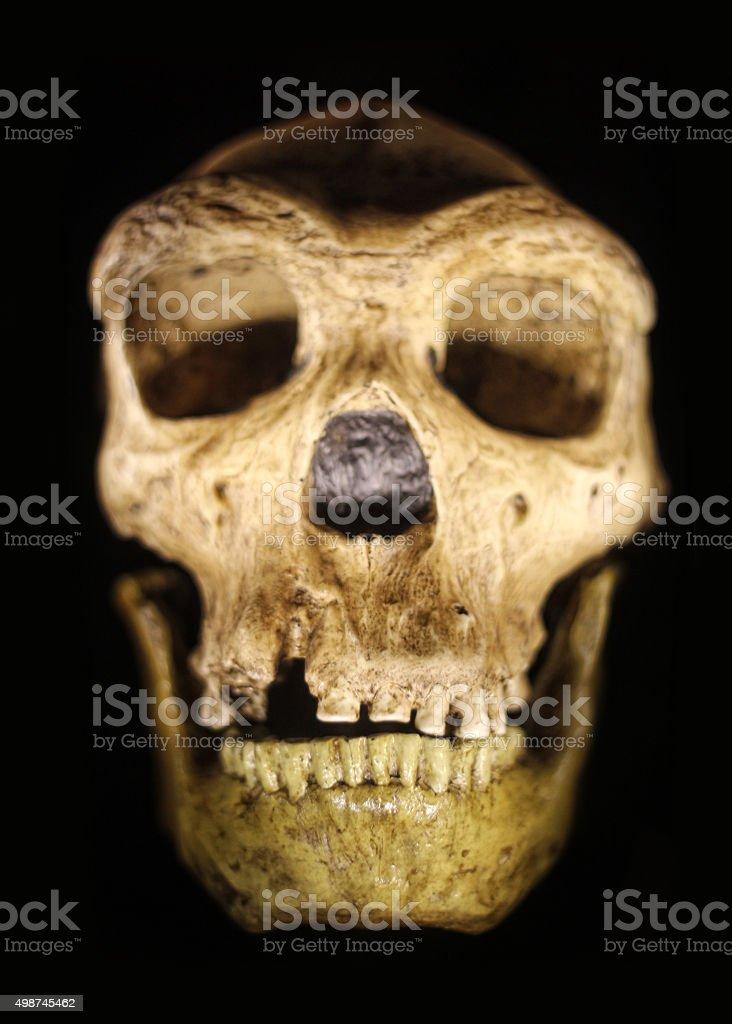 Ancient Neanderthal Skull on Black Background stock photo