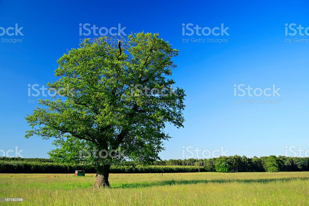 Ancient Oak on Summer Meadow royalty-free stock photo