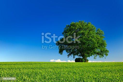 Ancient Oak in Spring Landscape under Blue Sky