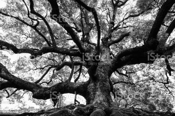 Photo of Ancient oak tree with sturdy roots and mighty branches in high contrast black and white